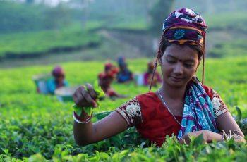 ভারতীয় চায়ের গড় দাম বেড়েছে ১.৬৫ শতাংশ